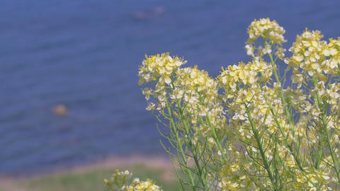 Flowers Of Field Mustard,A Thousand Rice Paddies In Shiroyone.Filmed In 4K stock footage