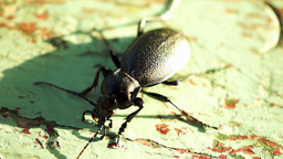 Insect (Beetle) In The Sun, Sudden Movements Footage