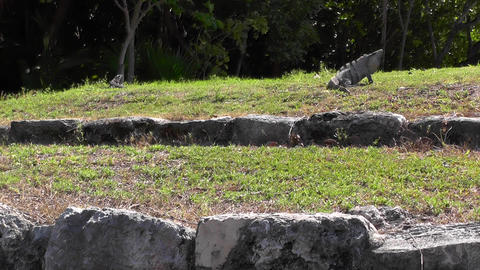 The Iguana Runs On A Grass stock footage