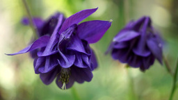 Mauve Bell-Shaped Flowers(Aquilegia vulgaris or European Columbine)in Wind, Soun Footage