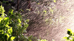 Watered Plants In Garden. Sunny Rain Footage