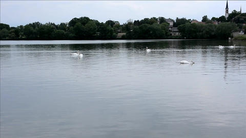 Swans On The Lake stock footage
