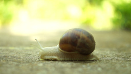 Beautiful Snail Crawling In Nature, Tilt Shell stock footage
