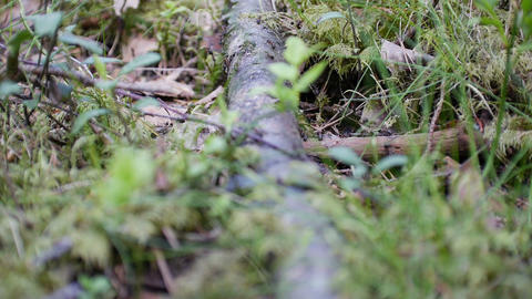 Ants (Formicinae, Formica polyctena) made lane in forest, timelapse Footage