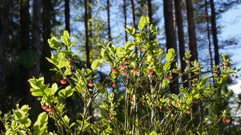 Flowering Blueberry Bush And Ant, Timelapse stock footage