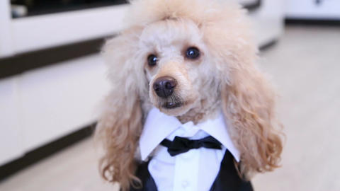 Poodle dressed up in a suit Footage