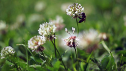 Bee Pollinating A Flower Clover Footage