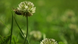 Grass Flower And Bee Footage