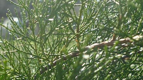 Fir branches big spring Footage