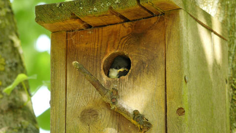 great tit looking out from nesting box closeup Footage