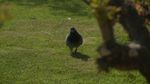 Pigeon runs through park in Paris Live Action