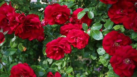 Slow horizontal pan of a rosebush Live Action