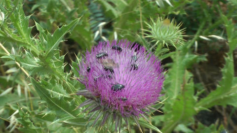A group of insects on a thistle1 Footage