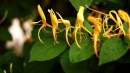 Goat-Leaf Honeysuckle, Italian Honeysuckle Or Perfoliate Woodbine After Rain Live Action