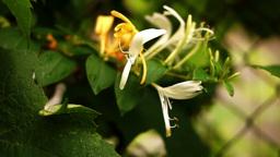 Goat-Leaf Honeysuckle, Italian Honeysuckle Or Perfoliate Woodbine After Rain stock footage