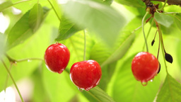 Cherry Tree Branch Three Piece Delicious Fruit With Water Drops Footage