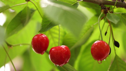 Cherry Tree Branch Three Piece Fruit After Rain Footage