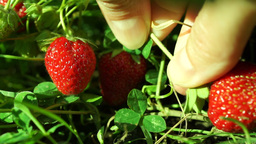 Strawberry Collected After Rain Footage