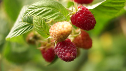 Small Branch With Ripe Raspberries With Blur Footage
