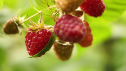 Small Branch With Ripe Raspberries Footage