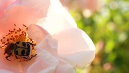 Bug In Pink Rose Footage