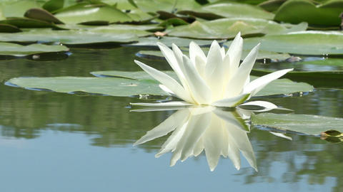 Lily Flower On The Lake stock footage