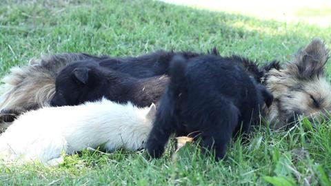Dog Feeding Puppies Footage