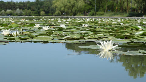 Lilies on the Lake Footage