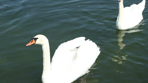 Swans on Lake Footage