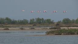 Greater Flamingo ( Phoenicopterus Roseus) In Flight stock footage