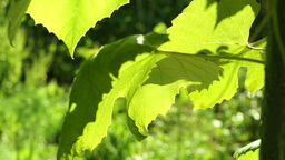 Grapevine Leaves In Vineyard Blown By The Wind, In Sun stock footage