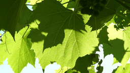 Grapevine Leaves In Vineyard Blown By The Wind, In Sun Footage