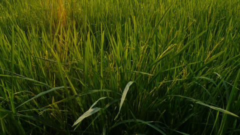 4K UHD : Little farm hut in rice field with sun light and flare, crane shot zoom Footage