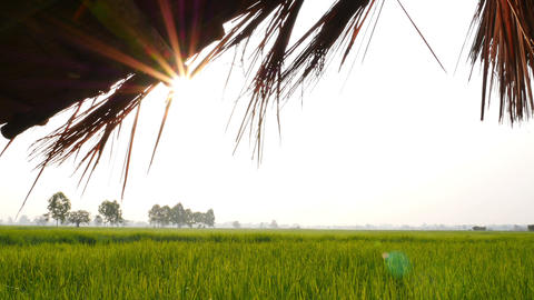 4K UHD : Little Farm Hut In Rice Field With Sun Light And Flare, Crane Shot Zoom stock footage