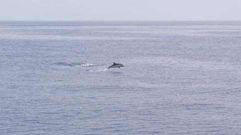 dolphin pod jumping 01 Footage
