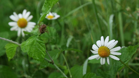 Paris Daisy on the Meadow Stock Video Footage