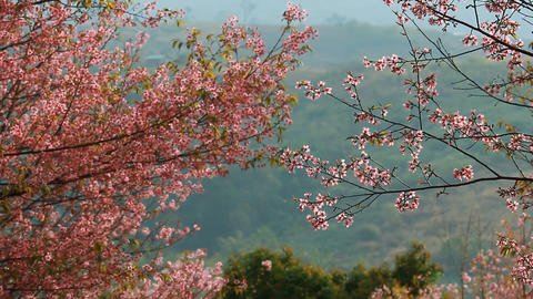 Forest of pink sakura blossoms at Phu Lom Lo mountain, Thailand Footage
