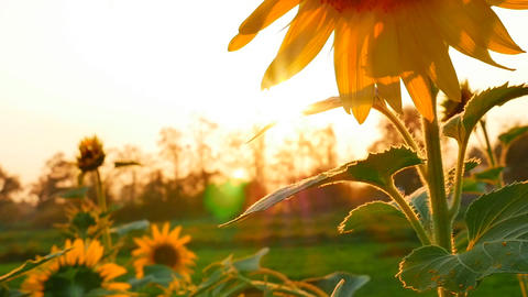 Sunflower Field During Sunset, Tilt Up Camera stock footage