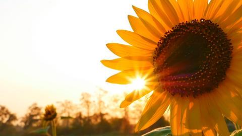 Sunflower field during sunset, Tilt up camera Footage