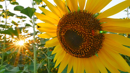 Sunflower field during sunset, Pan camera Live Action