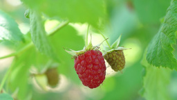 Raspberry On The Shrub, In Summer Breeze Footage