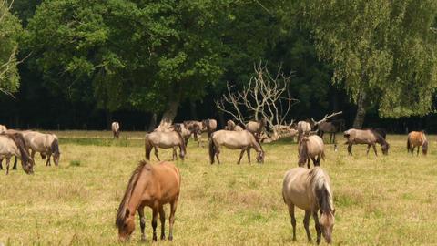 wild horses grazing heat haze 4k UHD 11647 Footage
