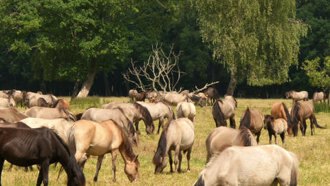 wild horses time lapse 4k UHD 11649 Footage