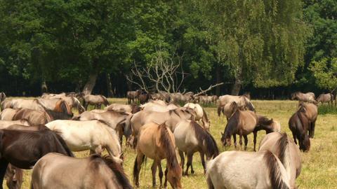 Wild Horses Time Lapse 11649 stock footage