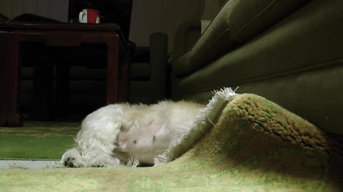 A cute funny colorful female shih tzu searches its toy under a couch Footage