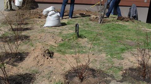 Men dig pits shovels seedlings planted watering seedlings water Footage
