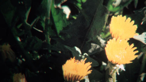 (8mm Vintage) 1968 Timelapse of Yellow Flowers Blooming Footage