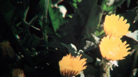 (8mm Vintage) 1968 Timelapse of Yellow Flowers Blooming Footage