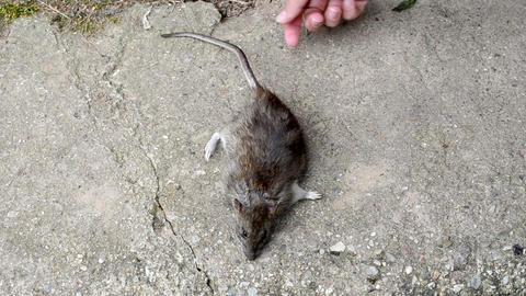 hand take dead big rat lying on concrete cellar basement stair Footage