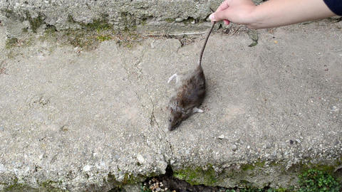 woman hand put dead big rat lying on concrete basement stair Footage